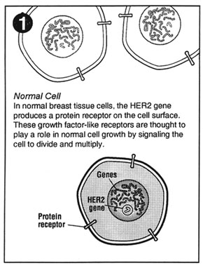Figure one -- normal cell