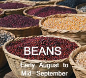 Beans:  early-August to mid-September