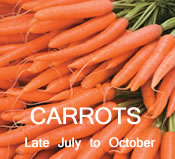Carrots: Late-July to October