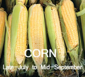 Corn:  Late-July to Mid-September